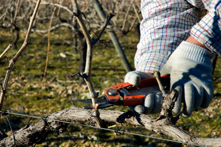 Pruning woody vines