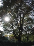 Large tree with sun suing through