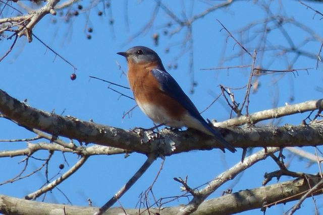 Bluebird at Cooper Lake State Park