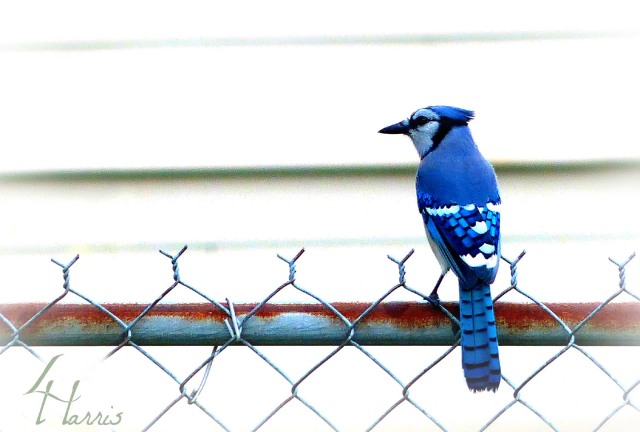 Blue Jay perched on hurricane fence