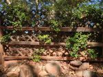 Crosshatch fence with vine growing through it