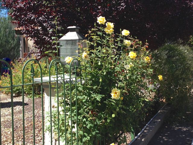 yellow roses climbing on metal wire fence