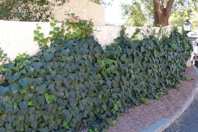 Tall wall with ivy growing up from the ground