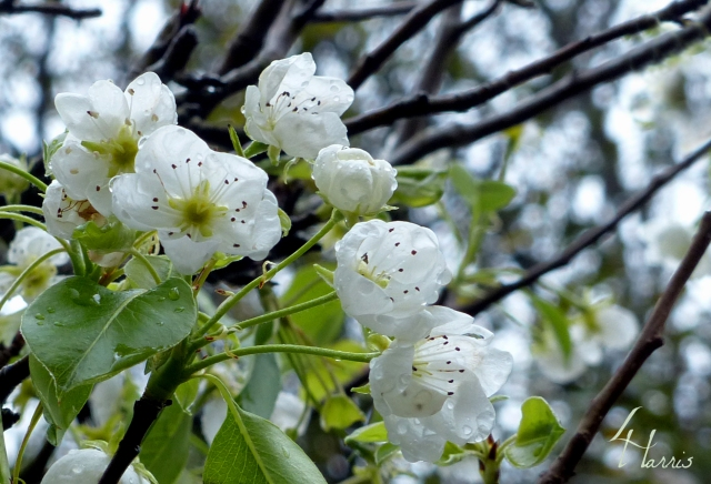 Laurie's Pear Tree blossoms