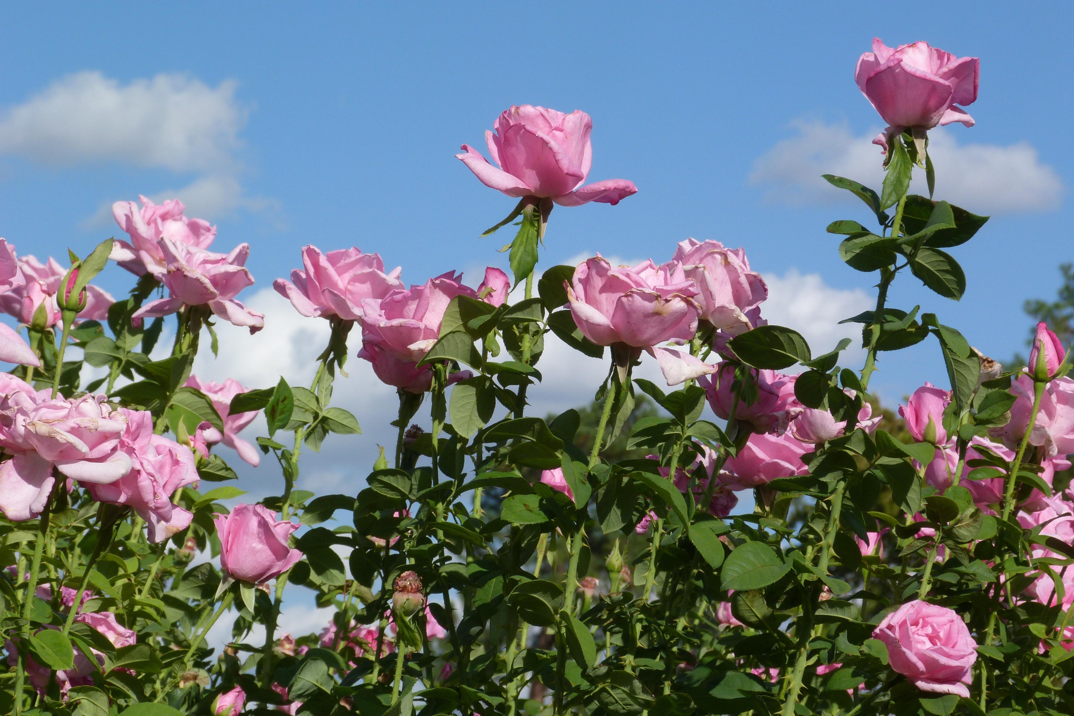 Pink Tyler Roses against blue sky
