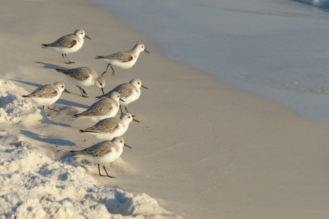 Sand Pipers on the Shore