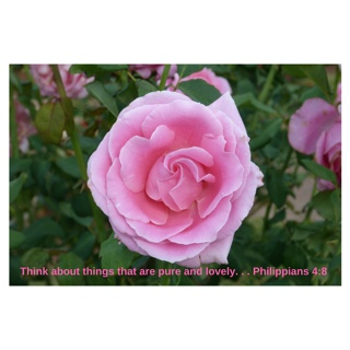 Beautiful pink rose with Phil 4:8