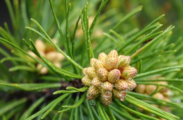 Pine tree bud